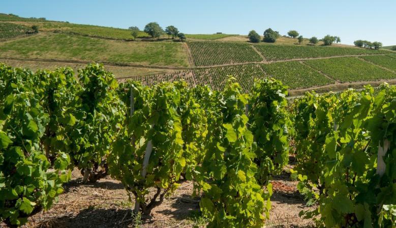 Les vignes du Domaine du Breuil à Salles-Arbuissonnas